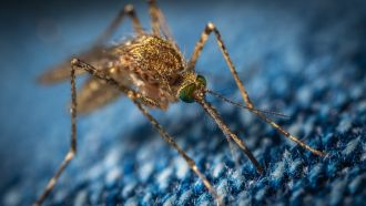Malaria-related deaths in sub-Saharan Africa in 2020 could more than double since 2019 if COVID-19 interrupts malaria-prevention activities, according to international researchers. The authors used COVID-19- and malaria-transmission models to estimate the impact of disrupting malaria-prevention measures (such as distributing mosquito nets) and other essential health services under four different COVID-19 epidemic scenarios. They found that, in Nigeria alone, delaying distribution of mosquito nets could result in an average of 81,000 additional deaths. The authors say managing these effects is possible, as long as malaria prevention activities continue to be prioritised, along with COVID-19 interventions and social distancing.