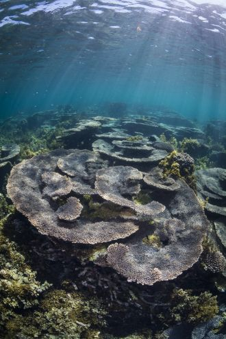 Table Acropora corals growing in the shallow waters of Coral Bay, WA