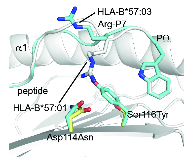 Minor changes in the HLA (Asp114Asn & Ser116Tyr) cause identical peptides to adopt different shapes when bound to the HLA. Credit: Dr Julian Vivian, Monash BDI.