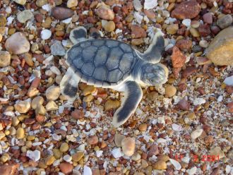 A flatback turtle hatchling on the beach.
