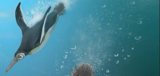 What waddled on land but swam like kings in subtropical seas more than 60 million years ago, after the dinosaurs were wiped out on sea and land? Fossil records show giant human-sized penguins flew through Southern Hemisphere waters – alongside smaller forms, similar in size to some species that live in Antarctica today. Now, the newly described Kupoupou stilwelli has been found on the geographically remote Chatham Islands in the southern Pacific near New Zealand's South Island. It appears to be the oldest penguin known with proportions close to its modern relatives.