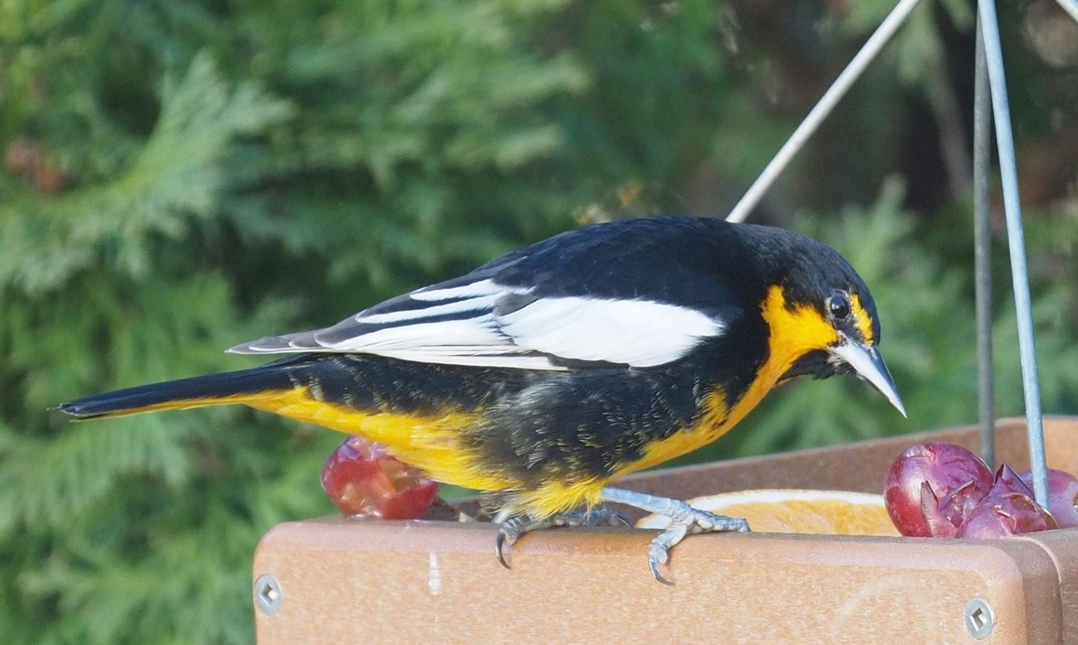 A Black-backed Oriole. Credit: Susan Schmoyer