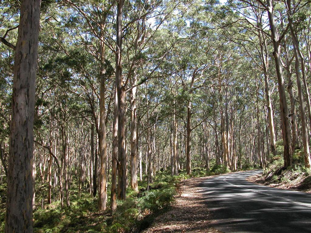 A Western Australian karri forest.