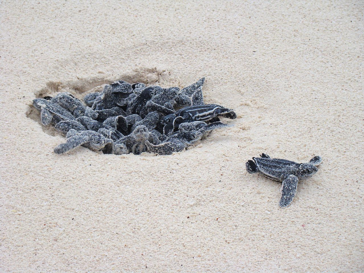 Leatherback_Turtle_eggs_hatching_at_Eagle_Beach,_Aruba By Elise Peterson - Own work_CC BY 3_0