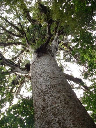 Ancient kauri tree growing in a New Zealand forest.