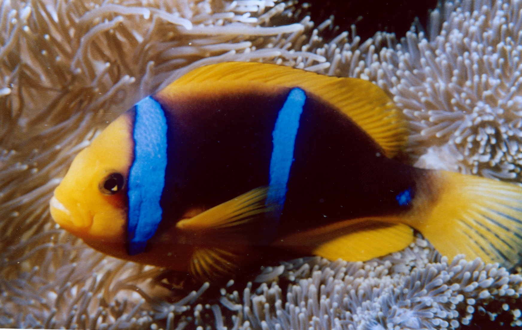 clownfish By David Burdick Public domain, via Wikimedia Commons