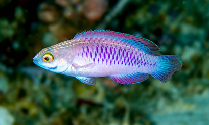 Cirrhilabrus wakanda (Vibranium fairy wrasse). Photo: Dr Luiz Rocha/California Academy of Sciences