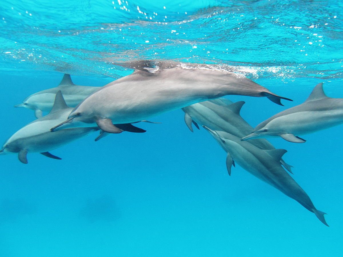 A pod of spinner dolphins in the Red Sea. Alexander Vasenin / Flickr