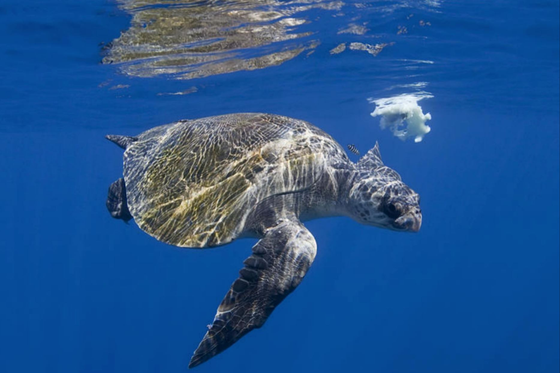 An Olive Ridley turtle roams the ocean. Photo courtesy WWF