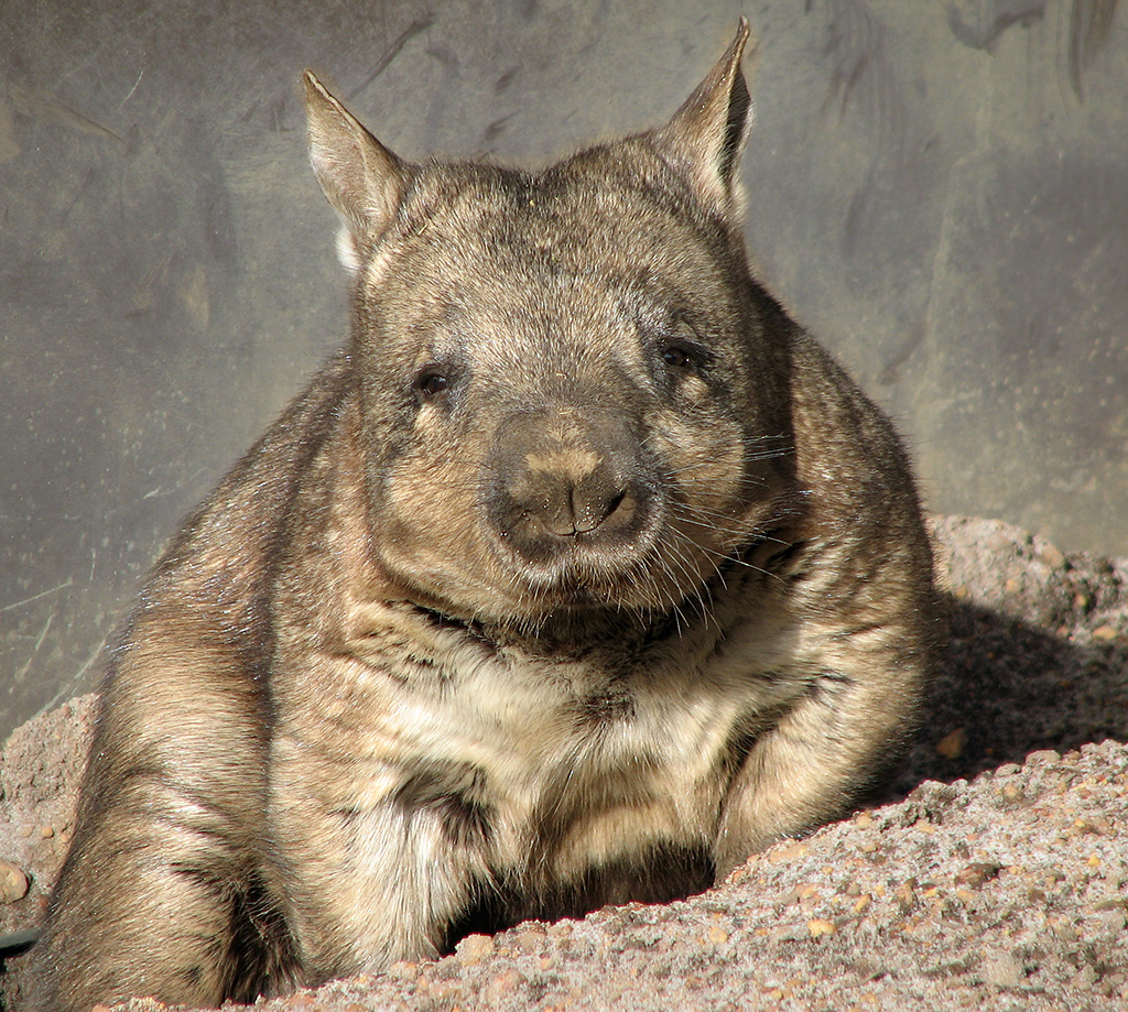 Wombat_1 By Stygiangloom - CC BY 2.0