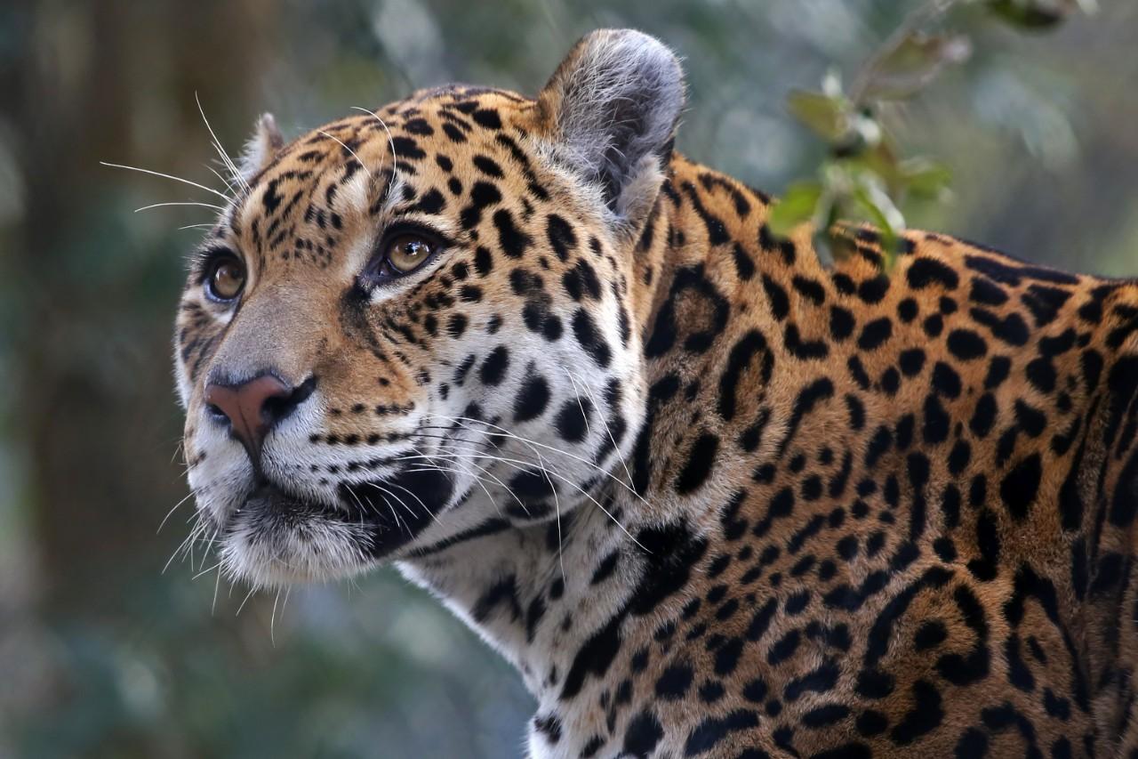 Jaguar: Edwin Butter / Shutterstock