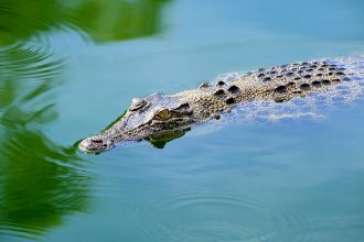 A team of researchers from Charles Darwin University will investigate the impact of the recovery of the northern Australian estuarine crocodile population on river ecosystems. The project in collaboration with Griffith University, the Australian Institute for Marine Science, the Northern Territory Government and Larrakia rangers would help to better understand the ecological role of estuarine crocodiles and the benefits of conserving them.