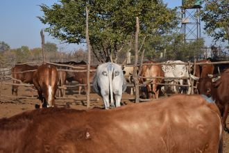 Painting eyes on the backsides of cattle in Botswana prevents attacks from lions and other predators in landscapes where they coexist, a new study shows. The researchers suggest this method as a more humane alternative to using lethal control, and a more ecologically sound alternative to using fencing to separate livestock from carnivores.