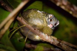 Green Ringtailed Possum (Dr Jessica Meade)