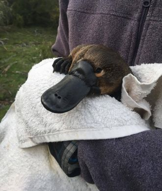 New UNSW research calls for national action to minimise the risk of the platypus vanishing due to habitat destruction, dams and weirs.